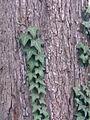 Enredadera trepando a un árbol