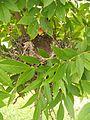 Nido de chimangos en un árbol
