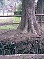 Raíces a la vista de un árbol que está al borde de una zanja